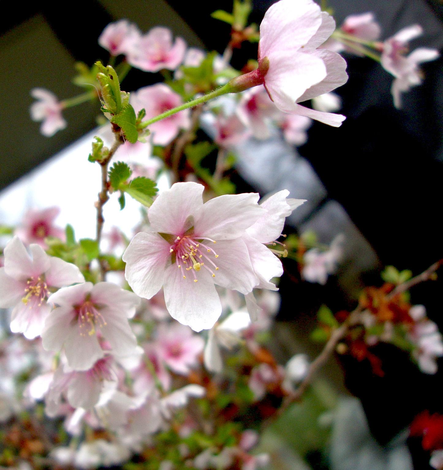 花の香を  盗みて走る  嵐かな Hana no ka wo Nusumite hashiru Arashi kana  Volant le parfum des fleurs de cerisier, le vent s'en va  Sokan