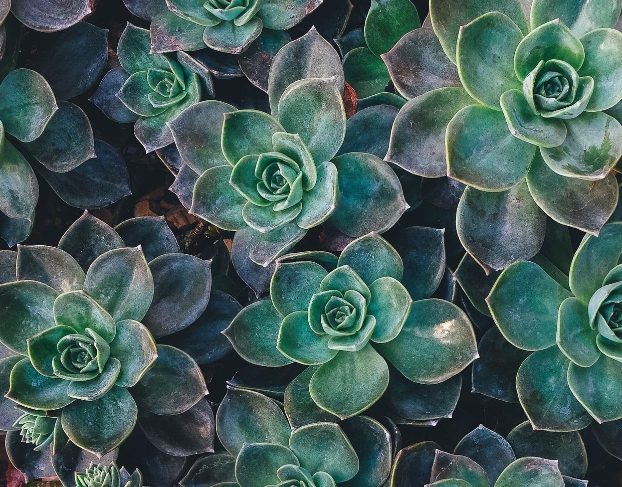 succulent-1031033_1920-détail