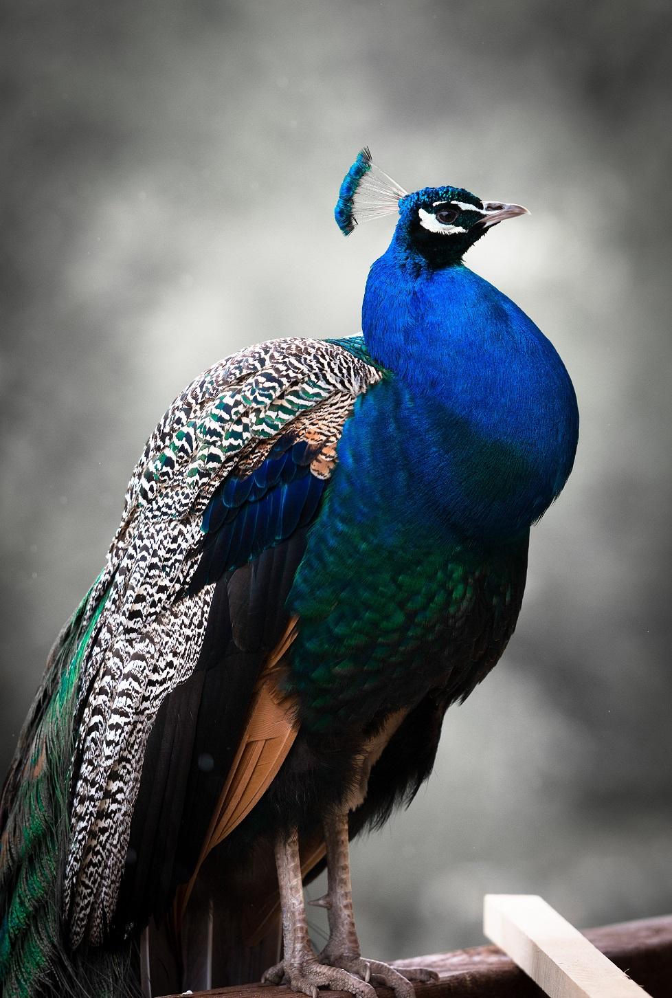 peacock-816981-petit
